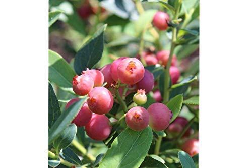 Pink Lemonade Blueberry (Vaccinium) - Live Plant - Trade Gallon Pot by New Life Nursery & Garden (Image #2)
