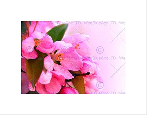 Apple Blossom Pink Flower Black Art Print Picture Mount B12X9537