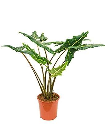 Pfeilblatt Sarian Schöne Zimmerpflanze Für Sonne Alocasia 1 Pflanze