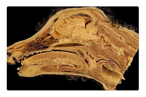 Tree26 Indoor Floor Rug/Mat (23.6 x 15.7 Inch) - Head Anatomy Dog Sagittal Section Nasal Cavity ()