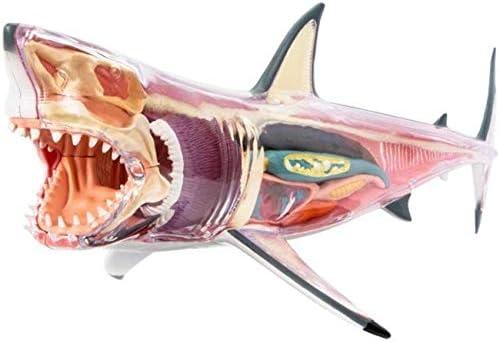 LXX Gran Modelo de anatomia del Tiburon Blanco - Modelo ...