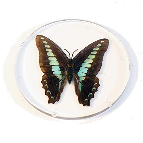 (REALBUG Resin Coaster-Common Blue Bottle Butterfly-Round)