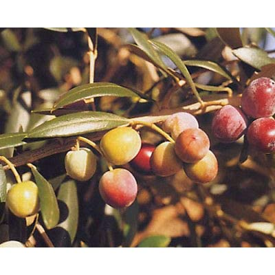 Olive Tree, Arbequina, Live Potted Plant, Olea europaea : Garden & Outdoor