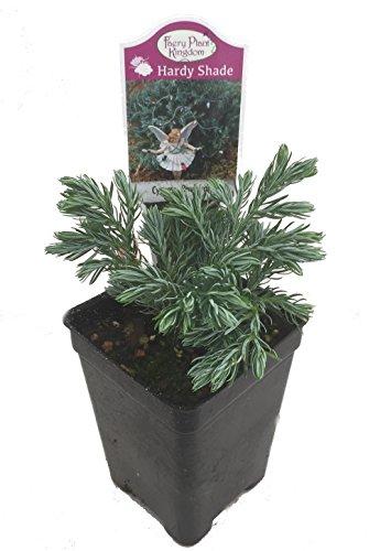 boulevard-cypress-chamaecyparis-25-pot-fairy-garden-plant