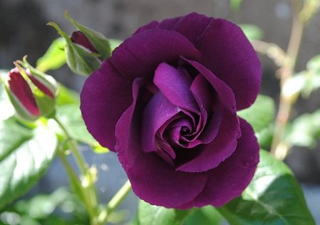 'Rhapsody in Blue' Fragrant Floribunda Rose 3fatpigs® beechwoodtrees 3fatpigs®