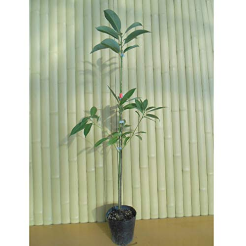 【15本セット】 タブノキ 樹高1.0m前後 15cmポット 苗木 植木 苗 庭木 生け垣 B07HFNBCYD
