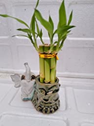 Small Lucky Bamboo Arrangement dark/white - Elephant Favor unique from jmbamboo