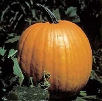 PlenTree 50 Connecticut Field Pumpkin Seeds