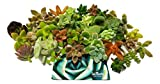 Fat Plants San Diego Miniature Fairy Garden Succulent Cuttings