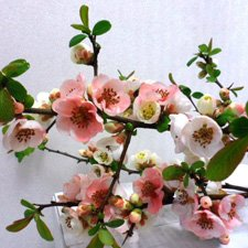 (1 Gallon) TOYO-NISHIKI Flowering Quince, Elegant and Unusual Spring Blooming Shrub Unusual tri-Colored Flower Clusters of Red, White and Coral Pink; Flowering Quince Fruit