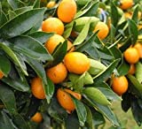 1 Kumquat Trees 3'' Real Live Plant Fruit Seedling