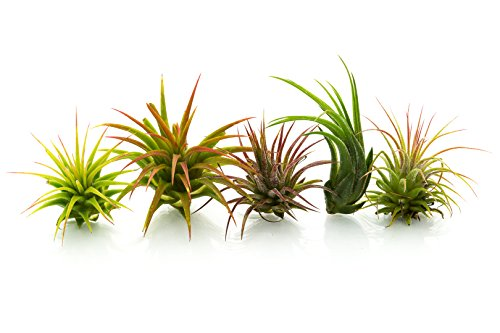 Air Plant | 5 Assorted Air Plants | 5 Varieties of Tillandsia AirPlants | Nautical Crush - It Shop City Garden