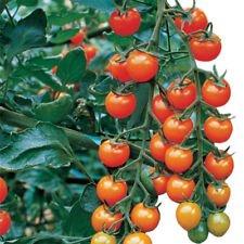 Orange Sweet Tomatoes - Sungold Hybrid Tomato, sweet, golden-orange colored, cascading trusses 20 Seed