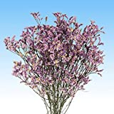 GlobalRose 240 Fresh Cut Purple Limonium Flowers - Fresh Flowers For Birthdays, Weddings or Anniversary.