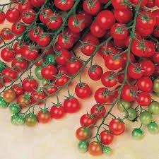 defiant tomato seeds - 4