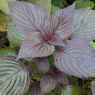 comestible de semilla de perilla Hoja púrpura de semillas de perilla Sue 50 semillas / pack: Amazon.es: Jardín