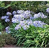 Agapanthus (Lily Of The Nile) praecox minimus Peter Pan 250 seeds