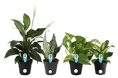 Costa Farms Clean Air - O2 For You Live House Plant Collection 4-Pack, Assorted Foliage 4-Inch Grower ()