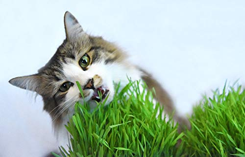 Cat Grass Seeds by Perfect Plants - 1lb. Bag - Guaranteed to Grow Non-GMO Wheat Grass Seed (Best Grass Seed To Plant In Winter)