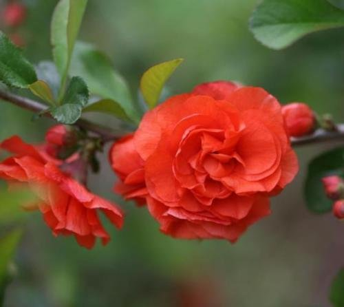 Orange Storm Double Take Flowering Quince - Live Plant - 4 inch Pot