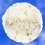 GlobalRose 350 Fresh Cut White Carnations - Fresh Flowers Wholesale Express Delivery