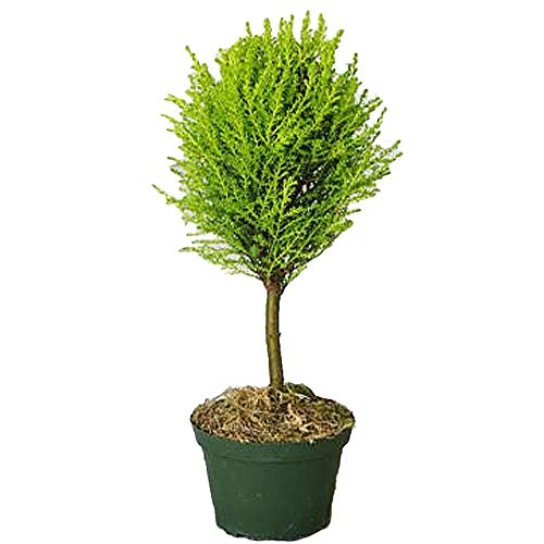 Lemons Topiary - Cupressus macrocarpa, Lemon Cypress Topiary Standard