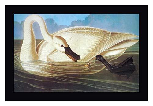 Trumpeter Swan by John James Audubon - 11