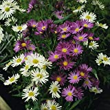 Aster Novi-Belgii Mix Perennial Flowers Seeds 1,000 Pcs an