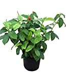 PlantVine Costus woodsonii, Red Button Ginger - Large - 8-10 Inch Pot (3 Gallon), Live Plant