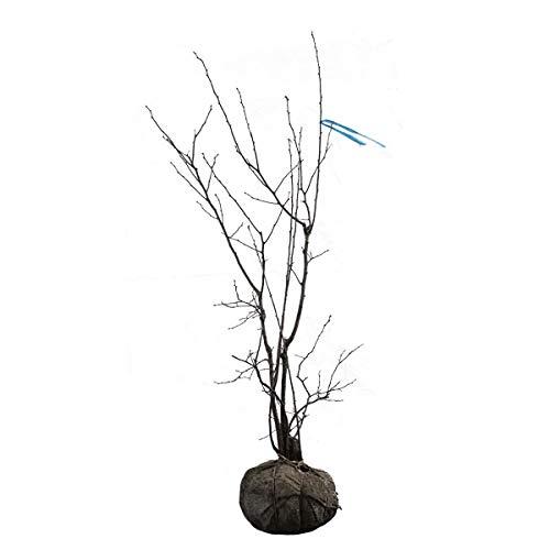 ナツハゼ 株立ち 樹高1.2~1.5m前後 (根鉢含まず) B01MUG769Z