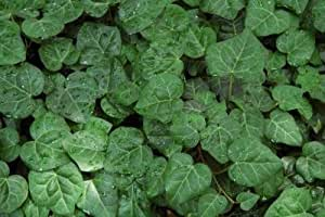 Classy Groundcovers - Hedera colchica 'My Heart' (Persian Ivy 'My Heart', Bullock's Heart Ivy) {54 Pots - 2 1/2 in.}