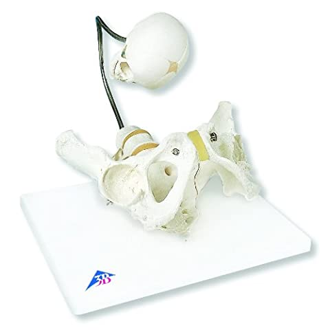 3B Scientific L30 Childbirth Demonstration Pelvis Model, 13