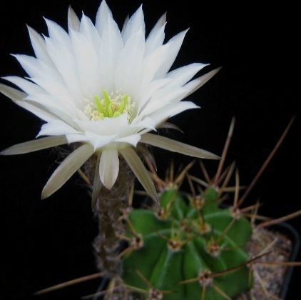 Easter Lily Plant Flowers (Echinopsis rhodotricha - Easter Lily Cactus - 50 seeds)