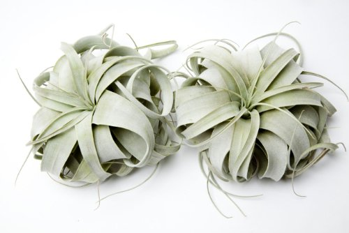 Airplants Xerographica Tillandsia Small 2 Pack (Grown and Shipped from California)