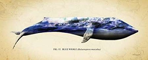 Blue Whale Poster Print by Alan Hausenflock