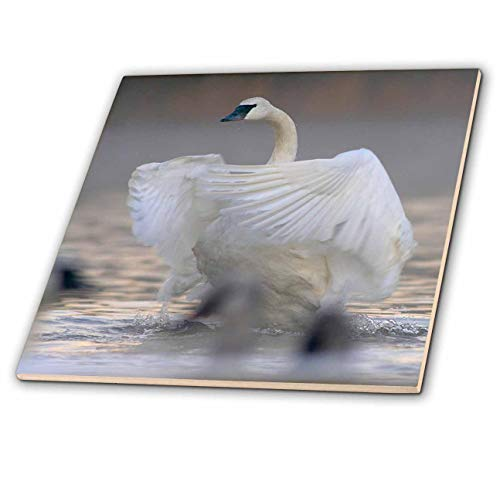 3dRose Danita Delimont - Swans - Trumpeter swan flapping its wings, Magness Lake, Arkansas. - 8 Inch Glass Tile (ct_314579_7)