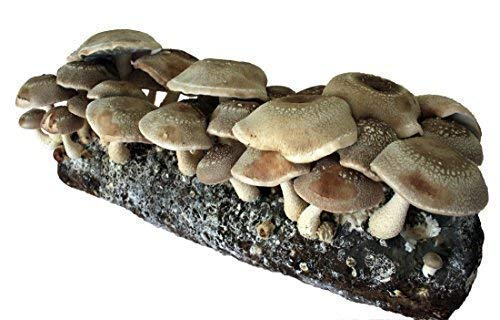 Root Mushroom Farm-Shiitake Mushroom Growing Kit-Starting Right Away-New Launched