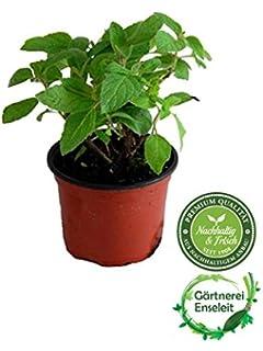 Zimt Aroma       Eletarria cardamomum         3stk.//Kräuter Pflanzen