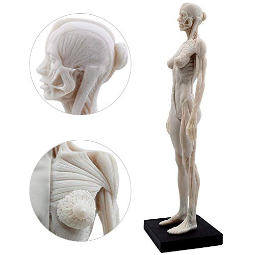 1:6 Life-Size Female Human Anatomy Muscle for Explaining The Standar Medol,Flesh Comparative Anatomy]()