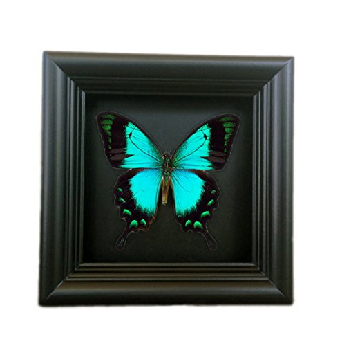 Real Butterfly Taxidermy Framed - Insect Collection, for sale  Delivered anywhere in Canada