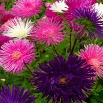 Outsidepride Aster Tall Needle Unicom Flower Seed Mix - 1000 Seeds