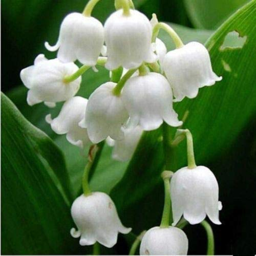100x Lily of The Valley Flower Seeds, Bell Orchid Seeds Bonsai Balcony Flower ea