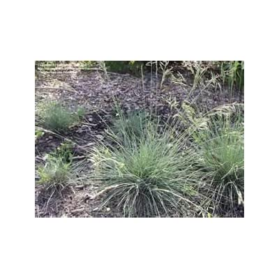 Cabin Mix (Dry Land Turf) - 1 Pound - Wizard Seed LLC : Grass Plants : Garden & Outdoor