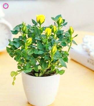 100 PCS Mini Rose Bonsai Miniature Rose Graines jardin Lumineux Belles fleurs en pot Graines vivaces Balcon Bonsai plantes 7