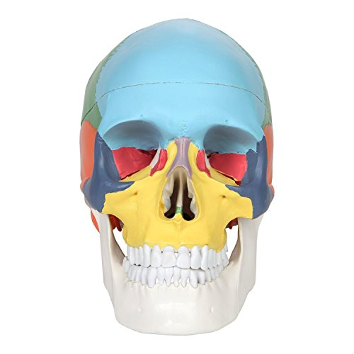 두개골 모델, OIF 인간 해골지도 해부학 과학 포함 된 풀 세트 치..