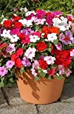 Balsam Impatiens Balsamina mixed colors 50 + seeds