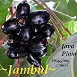JAMUN FRUIT TREE~ Syzygium cumini INDIAN WAX APPLE Pot'd Starter NEVER BR Plant