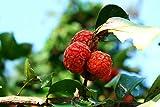 39 Seeds of CUDRANIA tricuspidata, Maclura tricuspidata, Silkworm Tree, Chinese Mulberry, Cudrang, Silkworm Thorn, Mandarin Melon Berry, Che, Storehousebush, Chinese Strawberry Tree
