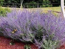 10 Russian Sage Seeds,butterflies,hummingbird,hardy, heat loving,Perennial (Sage Perennial Russian)