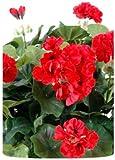 Plante fleurie artificielle Géranium en piquet 35cm rouge - couleur : Rouge